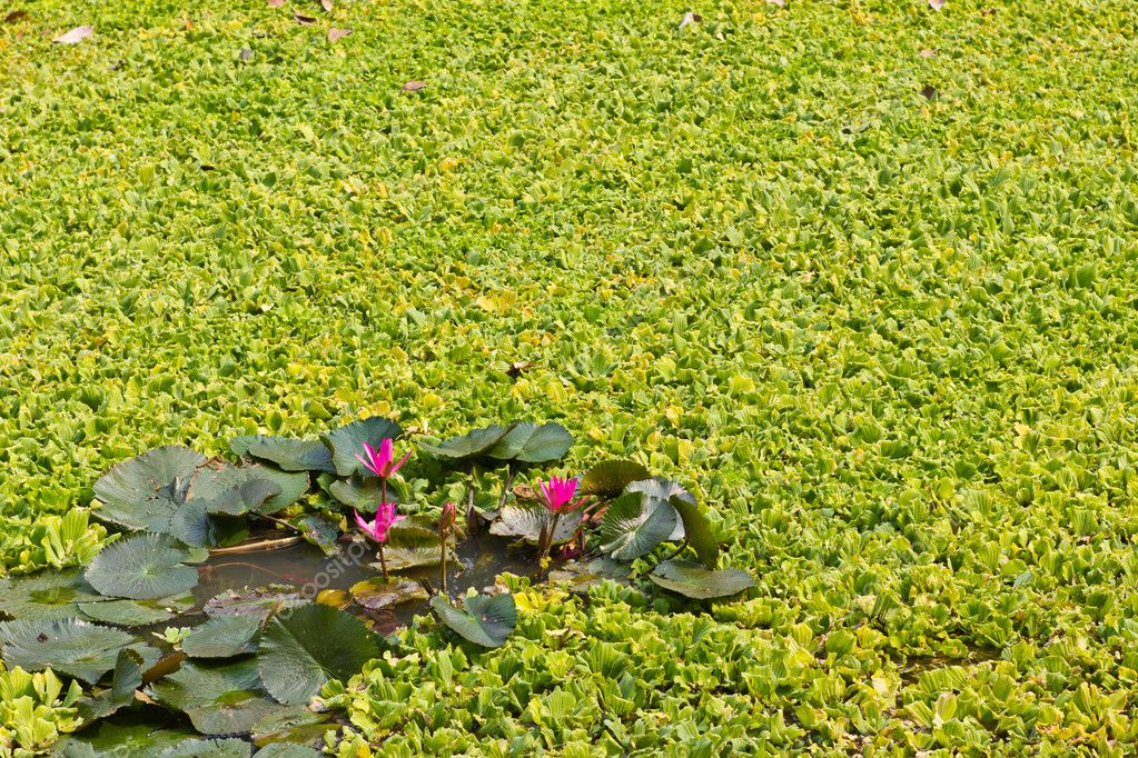 Lotus and many more aquatic weeds  Stock Photo #10386638