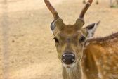 Hjortar, vilda djur som är sällsynta — Stockfoto