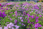 Zahradní buganvilejemi — Stock fotografie