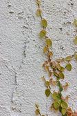 Ivy climbing the walls — Stock Photo