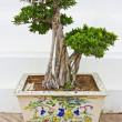 Bonsai. — Stock Photo