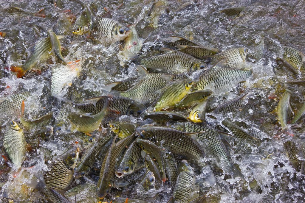 Carp struggle for to eat.  Stock Photo #9858913
