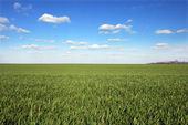 Wheat field with blue sky — Stock Photo