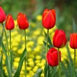 Red tulips in a row — Stock Photo