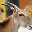 Eland Antelope chewing — Stock Photo