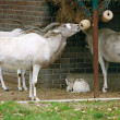 Adaks antelope (Addax nasomaculatus) - Stock Photo