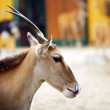Royalty-Free Stock Photo: Eland Antelope (Taurotragus oryx)