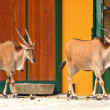 Royalty-Free Stock Photo: Two Eland Antelope in the zoo
