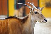 Portrait of Eland Antelope (Taurotragus oryx) — Φωτογραφία Αρχείου