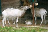 Adaks antelope (Addax nasomaculatus) — Stock Photo