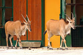 Two Eland Antelope in the zoo — Stock Photo