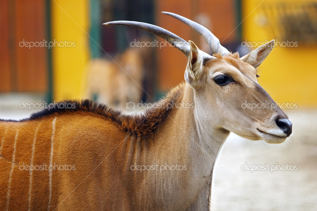 Eland antelope (Oryx Taurotragus scientific name) can grow up to 3 m and weighs 900 kg. Living up to 25 years. This antelope in nature lives in parts of south Africa. — Stock Photo #9658261
