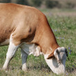 Brown Cow eating grass on the meadow — Stock Photo