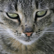 Cat&#039;s face - Stock Photo