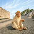 Monkey sitting on the road — Stock Photo