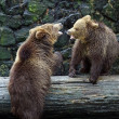 Brown bears — Stock Photo