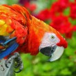 Royalty-Free Stock Photo: Colorful Macaw