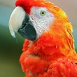 Stock Photo: Macaw-Ara