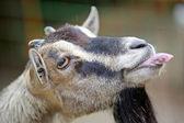 Goat's funny portrait — Stock Photo