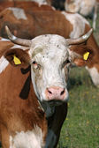 Portrait of white brown cow — Stock Photo