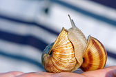 Two snails — Stock Photo