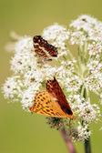 Orange butterflys vertical — Stock Photo