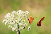 Orange butterflys — Stock Photo