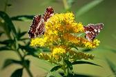 黄色花上的蝴蝶 — 图库照片