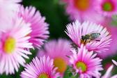 Pszczoła w krzew kwiaty — Zdjęcie stockowe
