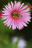 Bee on a flower Astor — Stock Photo