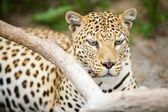 Leopard — Zdjęcie stockowe