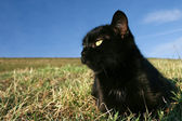 Black cat at sunset in the grass — Stock Photo