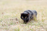 Black cat sneaking in the grass — Stock Photo