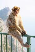 Monkey posing on the fence — Stock Photo
