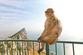 Gibraltar Monkey posing on the fence — Stock Photo