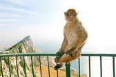 Gibraltar Monkey posing on the lookout — Stock Photo