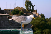 Seagull looking at the camera - Gibraltar — Stock Photo