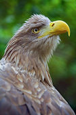 The head of an eagle — Stock Photo