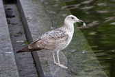 Young gull on the street — Stock Photo