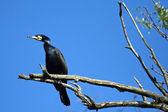 Black Cormorant — Stock Photo