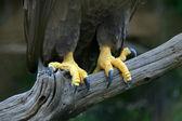 Eagle feet — Stock Photo