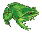 Drawing of a frog — Stock Vector