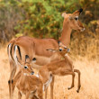 Female impala with young impalas, Samburu, Kenya — Stock Photo