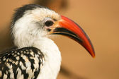 Portrait of Red-billed Hornbill (Tockus erythrorhynchus) , Samburu, Kenya. — Stock Photo