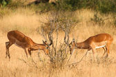 Dos impalas peleas en el parque nacional de samburu, kenya — Foto de Stock