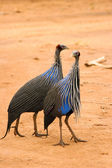 Vulturine Guineafowl, Samburu, Kenya — Stock Photo