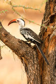 Red-billed Hornbill in the tree, Samburu, Kenya — Stock Photo