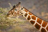 Giraffe eating branch of the tree , Samburu, Kenya — Foto Stock