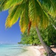 Stock Photo: Palm tree, Moorea, French Polynesia