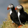Two puffins on the grass, Iceland - Stock Photo